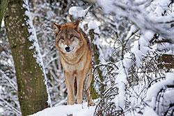 冬限定、野生の狼に会いに行くツアー
