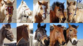 ツオクトの馬たち